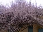 урюк цветет-2