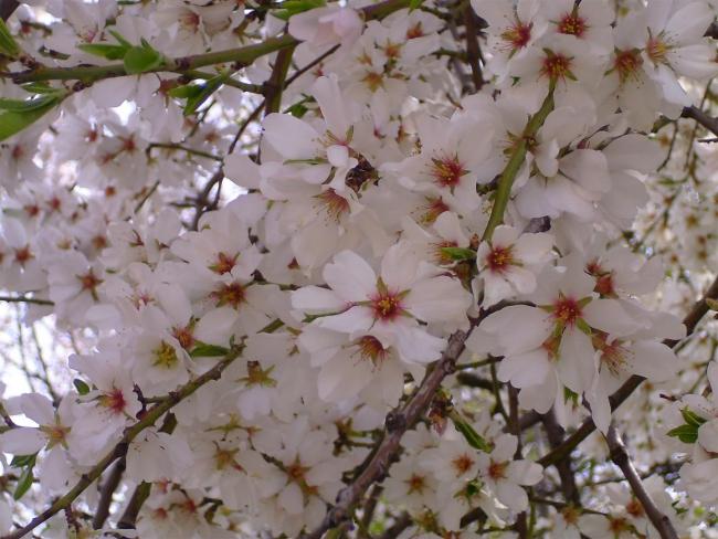 цветет миндаль