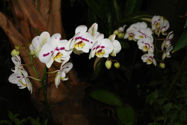 Орхидея -2
