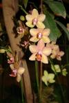 Орхидея -3