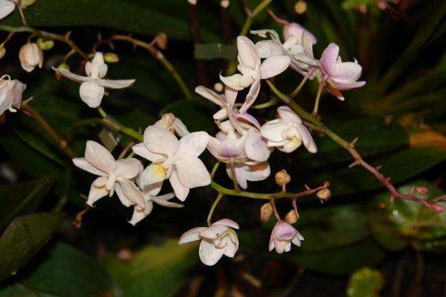 Орхидея -5