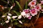 Орхидея -6
