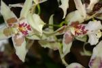 Орхидея -10