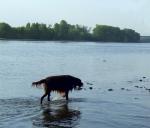 Работы Клары. Идущий по воде... пёс