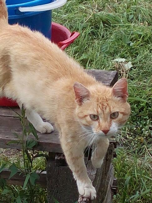 деревенские котики. рыжий друг