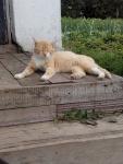 деревенские котики. рыжий друг после оказания гуманитарной помощи