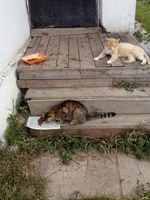 деревенские котики. идиллия во время обеда