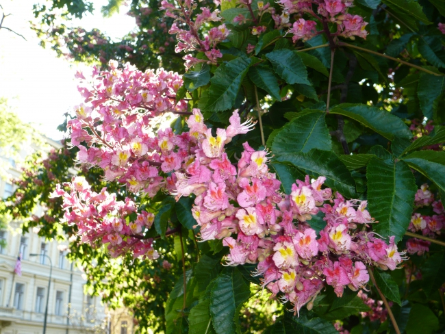 каштаны цветущие фото