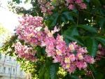 вот такие цветущие каштаны в Праге