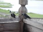 Совсем не чайки :)
