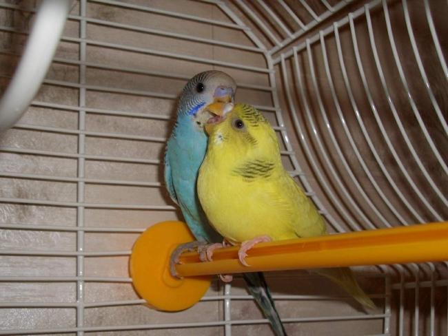 наши попугайчики Миша и Маша
